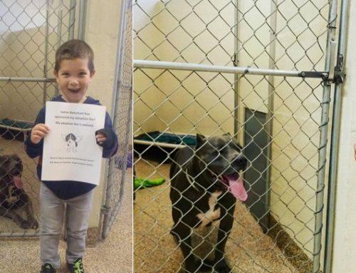 Un niño de 4 años gasta sus ahorros para ayudar a dos pitbull a encontrar un hogar