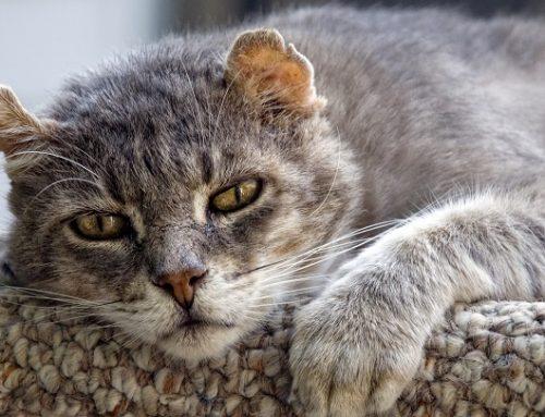 Síntomas del alzhéimer en gatos