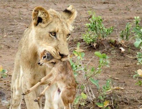 Una leona adopta una cría de antílope