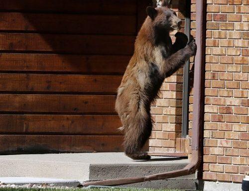 Un oso se cuela en una casa, roba comida y toca el piano