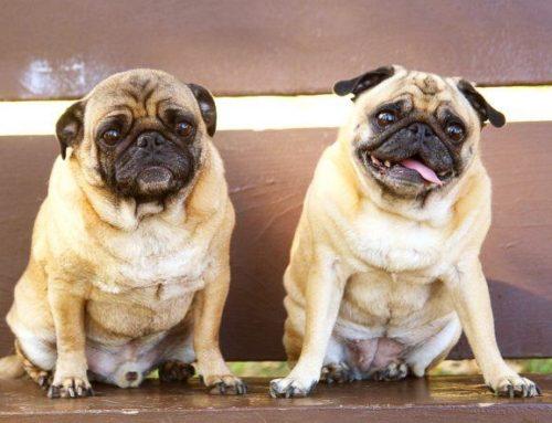Perros Pug o Carlinos: Características y cuidados