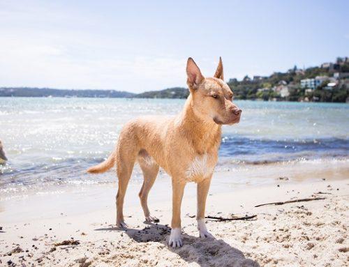 Cómo proteger la piel del perro del sol
