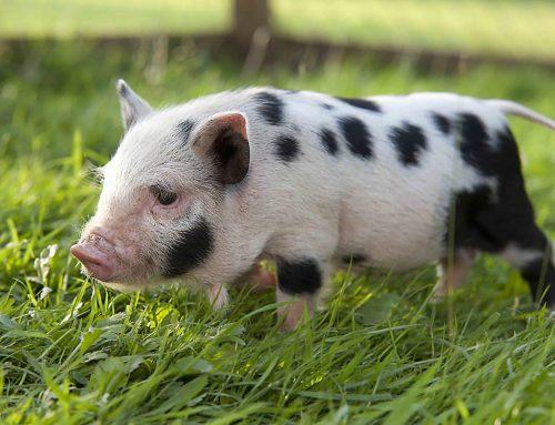 10 consejos para tener un cerdo vietnamita en casa