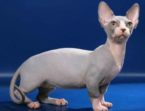 ¿Conoces a los gatos Esfinge? Esto es lo que sabemos