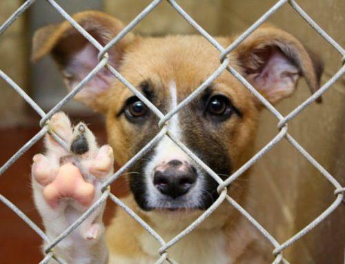 10 cosas que debes tomar en cuenta antes de adoptar un perro
