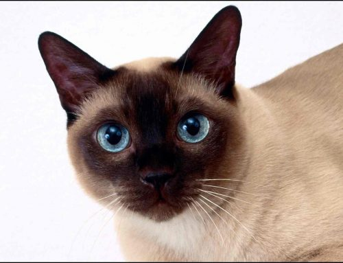 Todo lo que necesitas saber sobre el gato siamés