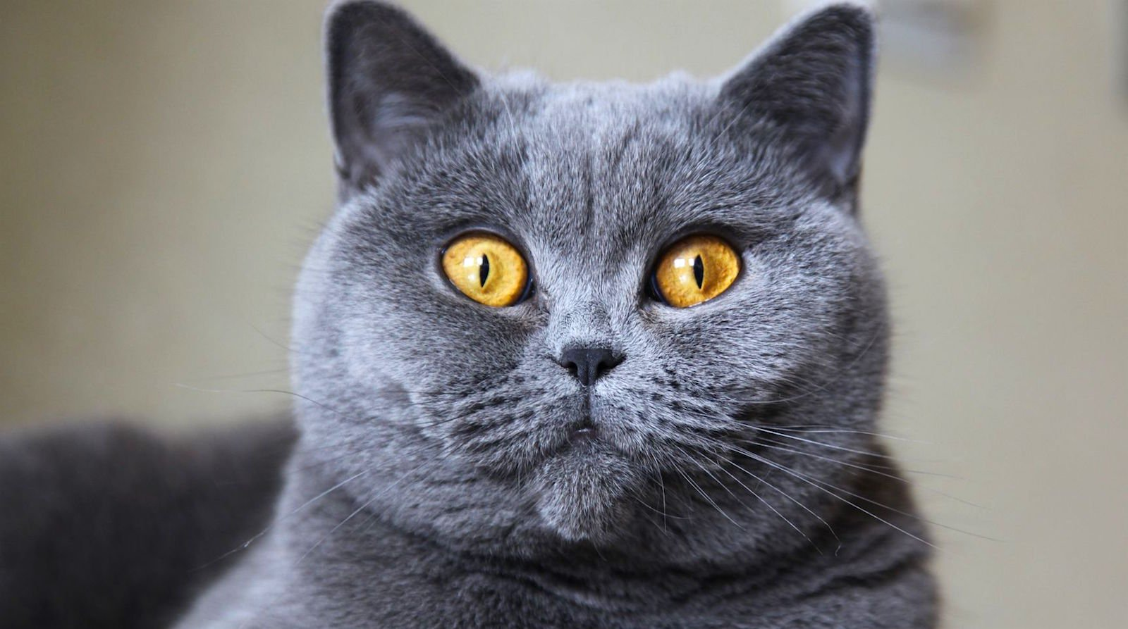 ¿Te gustaría adoptar un gato BritishShorthair?