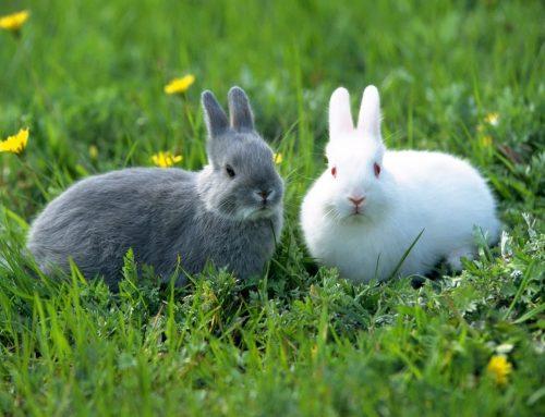 ¿Te gustaría adoptar un conejo? ¡Esto es lo que tienes que saber!