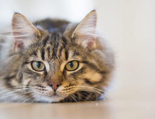 ¡15 Curiosidades de gatos que posiblemente desconoces!