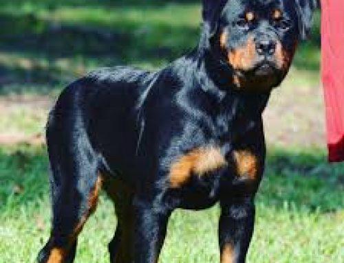Rottweiler ¿La mejor opción para adoptar?