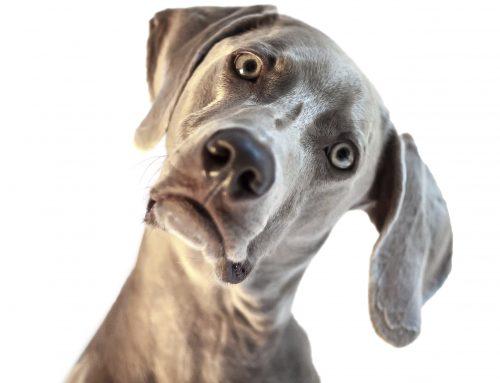 ¡50 curiosidades sobre los perros que seguramente no sabías!