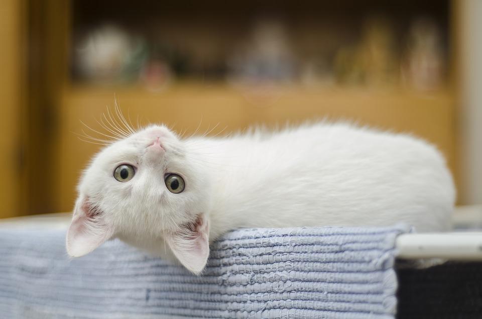 El asma en los gatos: ¿se puede detectar fácilmente?