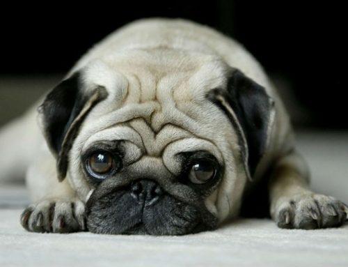 ¿Sabías que tu perro puede deprimirse? ¡Conoce las causas!