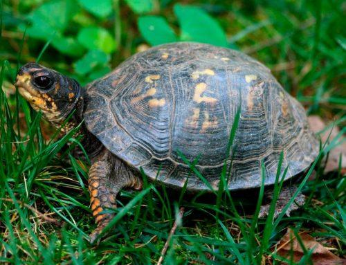 ¡Las tortugas también pueden ser grandes mascotas!