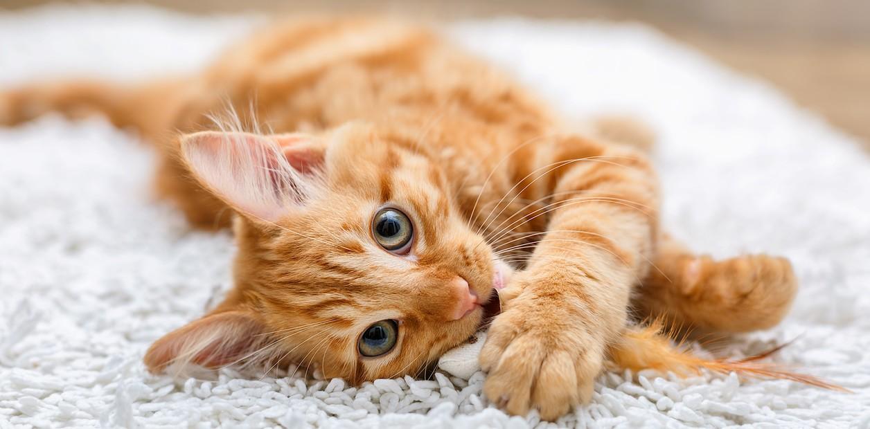 ¿Cómo identificar y tratar el cáncer de mi gato?