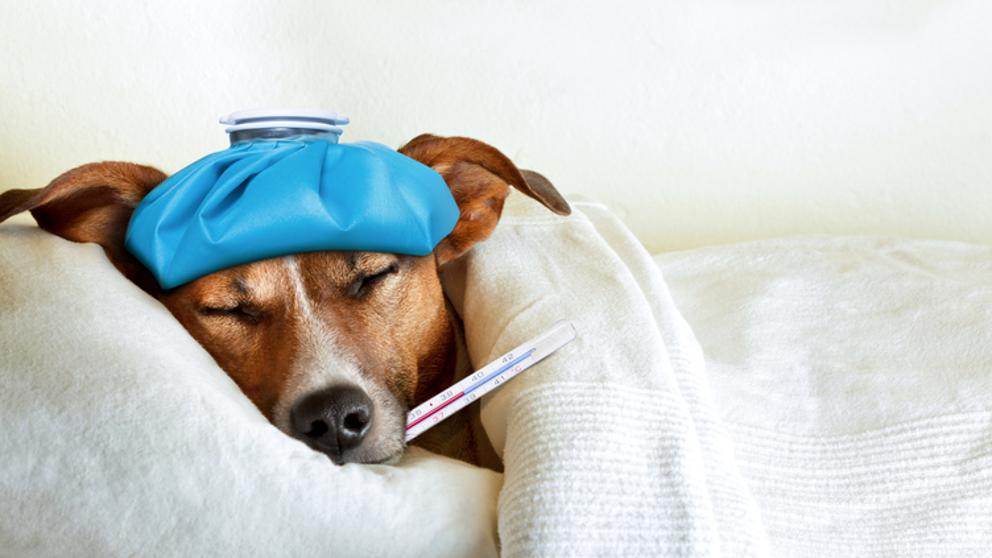 ¿Qué puedes hacer cuando tu perro está resfriado?