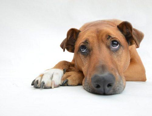 Todo lo que debes saber sobre el cáncer en los perros