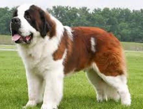 Conoce todas las ventajas de adoptar un perro San Bernardo