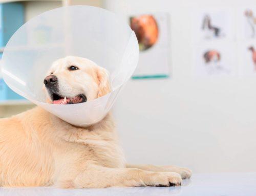 ¿Conoces las diferencias entre esterilizar y castrar a tu mascota?