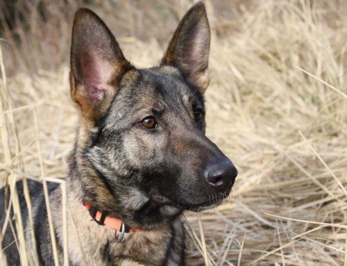 Collares electricos para perros ¿Simple corrección o terrible castigo?