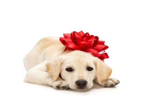 ¡Hay que detenerse! Las mascotas NO son un regalo de navidad