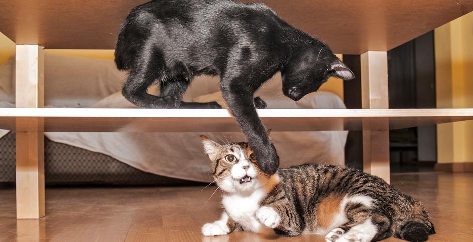 ¡Nuevo gatito! ¿Cómo se lo presentamos a otro gato en casa?
