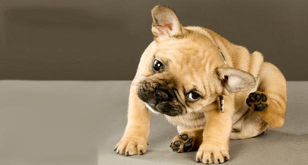 Conoce las enfermedades de piel más comunes en los perros