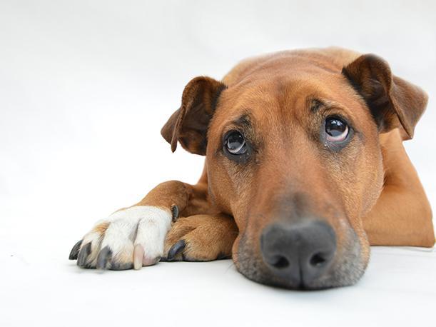 ¿Sabías qué los perros también pueden sufrir de anorexia?