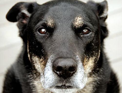¿Cómo debe ser la alimentación de un perro anciano?