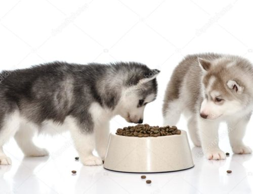 Descubre como puedes alimentar a tu cachorro