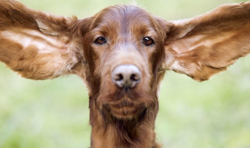 Sigue estos consejos para mantener el oído de tu perro limpio