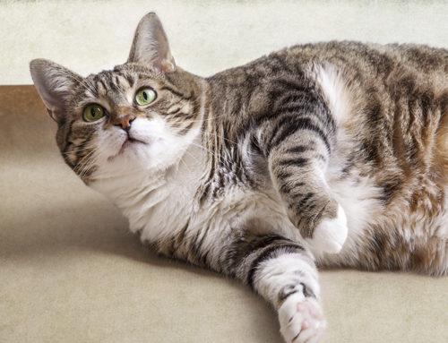 ¿Gato con sobrepeso? Te decimos que puedes hacer