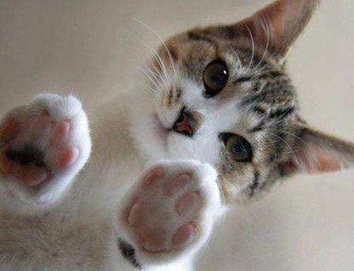 ¿Es sano amputar las uñas del gato? Te lo decimos aquí