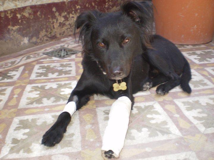 ¿Qué se debe hacer si el perro se fractura? ¡Conoce la solución!