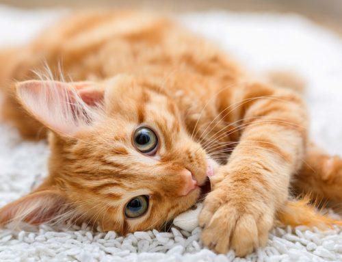 ¿Cómo se puede evitar los parásitos en los gatos?