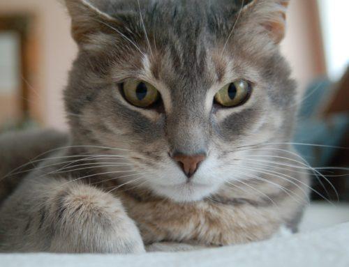 ¿Cómo saber si tu gato tiene cálculos renales? Descúbrelo aquí