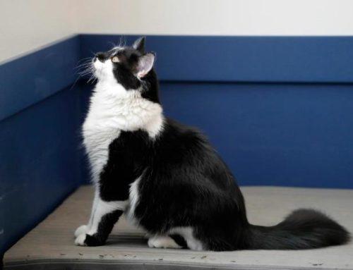Descubre como puedes entrenar a tu gato fácilmente