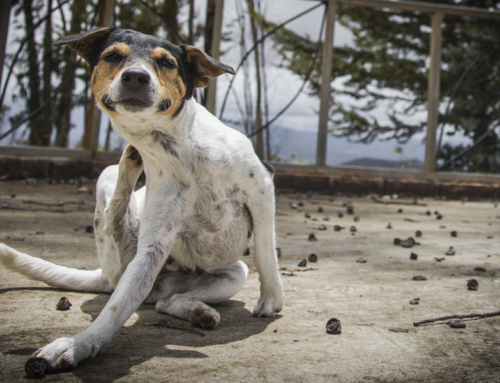 Mira como puedes prevenir la sarna en tu perro con estos consejos