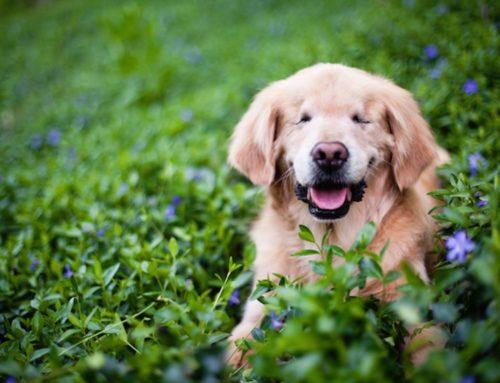 Conoce los juguetes ideales para un perro ciego ¡Diviértelo con juegos!