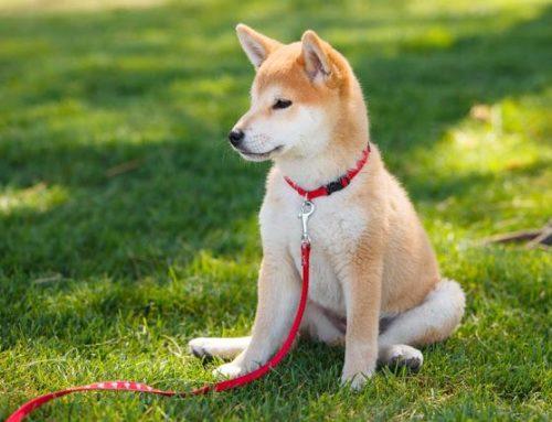 Utiliza esta guía práctica para enseñar a tu perro a sentarse
