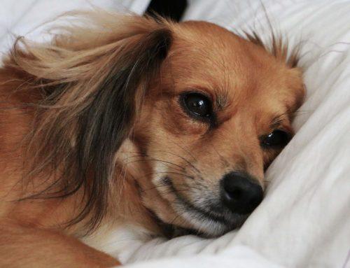 Infertilidad en perras: Conoce qué puede causarla y como prevenirla